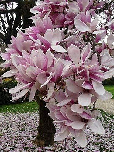 5 Hellpurpurnes weiße Magnolien-Samen-Lilien-Blumen-Baum-Fragrant Magnol liliiflora