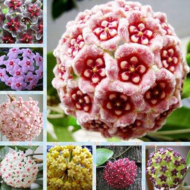 100pcs / sac Vente Hot arc Hoya Rare Graines Outdoor Blooming Bonsai fleurs des plantes en pot pour Maison et jardin Livraison gratuite 16