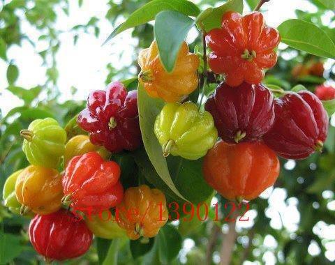 20pcs graines de cerisier, Surinam graines de fruits Pitanga, cerisier brésilien {rouge}, plante rare pour la maison et le jardin