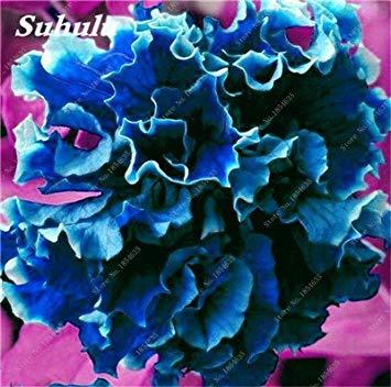 VISTARIC Blue Sky: 100 graines/pack japonais Radiata Seeds Aigrette Orchid Seeds espèces d'orchidées rares du monde Fleurs blanches Orchidee Plant Garden Blue Sky