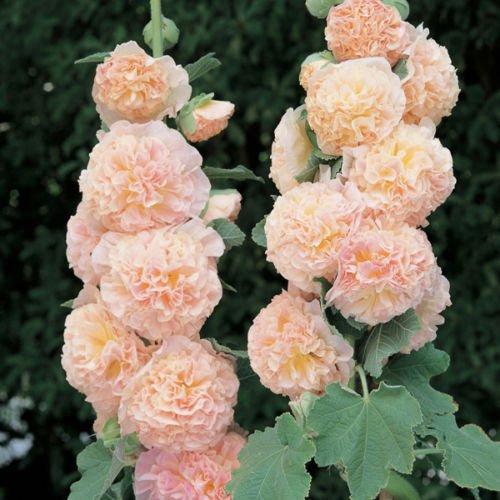 30 Seeds Of Chaters de Rose trémière SAUMON DOUBLE (Alcea/vivace)