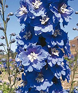1 Pack of 50 Flower Seeds Magic Fountains Mid Blue/White Bee Delphinium Seeds