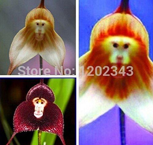 ttmart Store 100Stück getopfte Peru Monkey Face Orchidee Samen, Affen-Knabenkraut Senior Phalaenopsis Bonsai Pflanzen Blumensamen