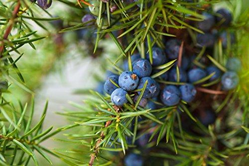 Gemeiner Wacholder Juniperus communis 45 Samen