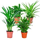 mix 'air so pure' | set di 4 piante depurative | chlorophytum, areca, spathiphyllum, nephrolepis | altezza 25-30 cm | vasi Ø 12 cm