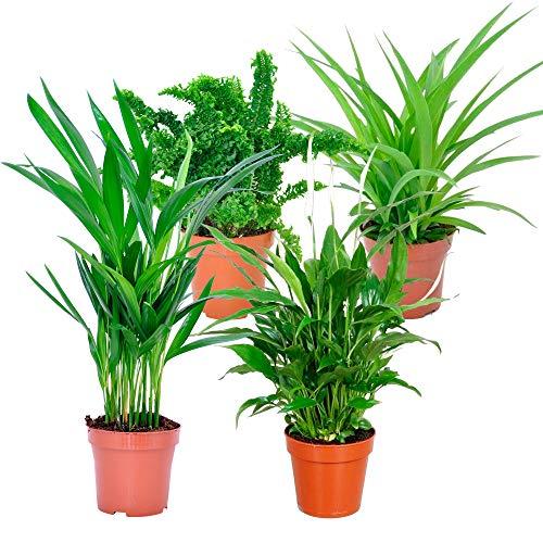 """Mix""""Air So Pure""""   4 plantes vertes d'intérieur purificatrices   Areca, Chlorophytum, Nephrolepis, Spathiphyllum   Hauteur 25-30cm   Pots Ø 12cm"""