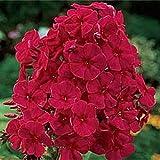 NEW!! 30+ FRAGRANT RED PHLOX FLOWER SEEDS /...