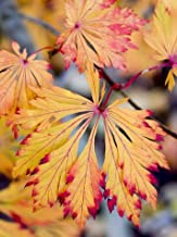 Green Cascade Japanese Maple 3 - Year Graft