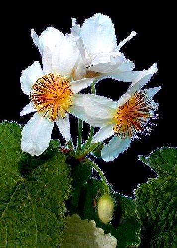 TROPICA - Afrikanische Zimmerlinde (Sparmannia africana) - 15 Samen