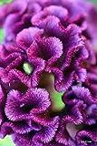 Semi 30+ viola cresta di gallo/Celosia Fiore