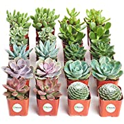 Shop Succulents | Assorted Collection | Variety Set of Hand Selected, Fully Rooted Live Indoor Succulent Plants, 20-Pack