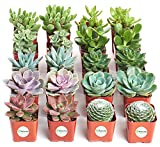 Shop Succulents | Assorted Collection of Live Succulent...
