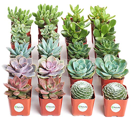 Shop Succulents | Assorted Collection |...