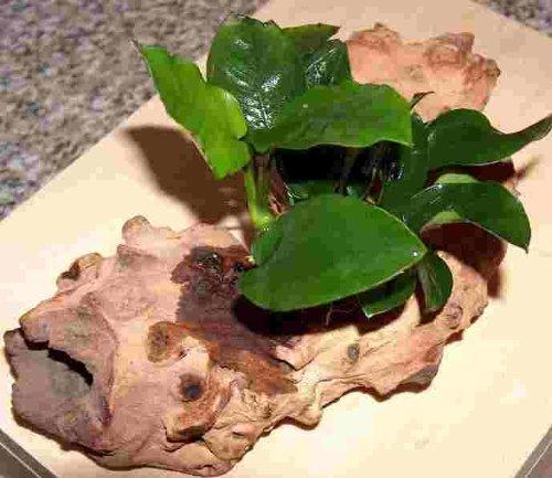 Mühlan Wasserpflanzen Wurzel bepflanzt Einer Anubia, für Barschbecken