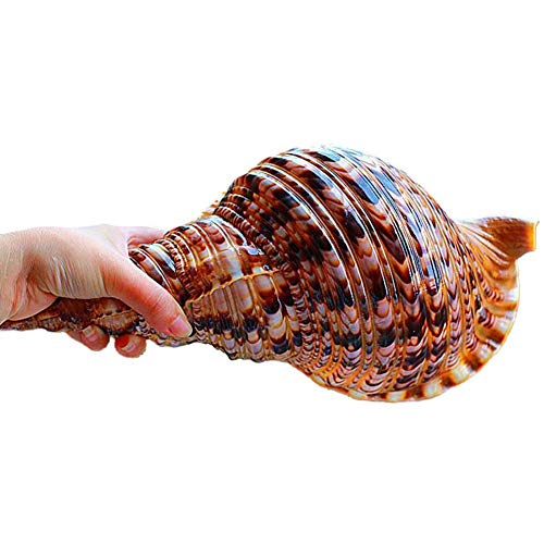 LINKLANK Concha de mar, 20 – 23 cm, conchas de mar naturales, caracol de Phoenix, decoración de tanque de peces para manualidades, bodas, festivales, fiestas, hogar, dormitorio, mesa, adorno