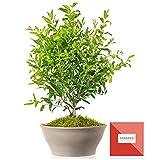 Árbol frutal Granado 50 cm en maceta de 23 cm diámetro con guía de cuidados –...