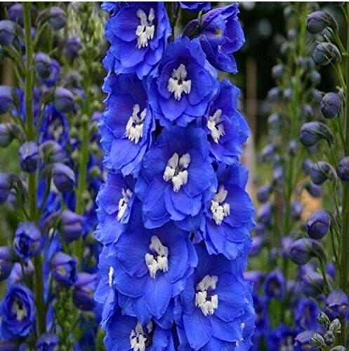 100 Flor Semillas Delphinium jardín de flores planta de la casa hermosa planta de flores: Amazon.es: Jardín