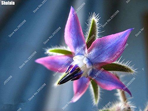 200pcs / sac exotiques arc-en-bourrache Graines Outdoor Herb Légumes Vanille Charme Heirloom Bonsai Jardin des plantes ornementales 5