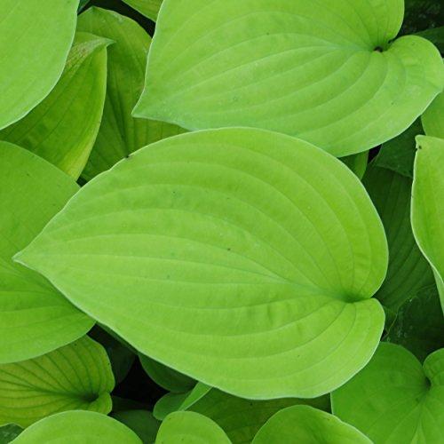 Hosta Hybride 'August Moon' - Funkie, Herzblattlilie, im 1,0 Liter Topf, hellviolett blühend