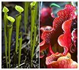 TROPICA - Purple Pitcher Plant (Sarracenia purpurea) - 10 Seeds - Carnivors