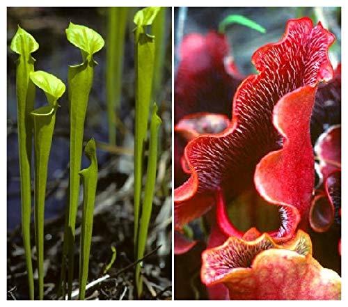 TROPICA - Pianta carnivora rossa e verde (Sarracenia purpurea) - 10 Semi- Carnivori - incluso substrato di coltivazione