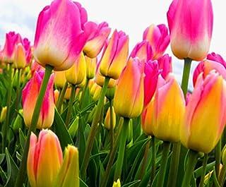 Las semillas de la col 200PC holandesa Tulip. Planta de tulipán aroma (no se bulbos de tulipán-bombillas perecederos transporte) Las semillas de flor de Bonsai avanzada