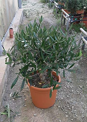 Olivo Ulivo bonsai bellissima pianta in vaso ø22 cm FOTO REALI
