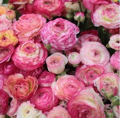 20pcs / lot 100% vrai Ranunculus Double Buttercup Graines, Ranunculus Graines de fleurs pour la maison et jardin de bonsaïs d'intérieur Plantes 10