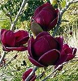 Gardening Express | Magnolia Genie | Amazing Purple <span class='highlight'>Black</span> Magnolia | Giant Flowered <span class='highlight'>Black</span> <span class='highlight'>Tulip</span> Tree