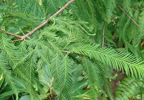 2016 Vente Vente Directe Aucun SEMENTES 20 Pcs Diy Graines jardin des plantes Bald Cypress, Taxodium Distichum Arbre