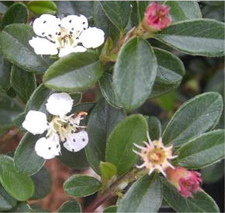 Cotoneaster dammeri Coral Beauty -...