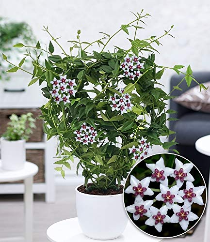 BALDUR-Garten Wachsblume