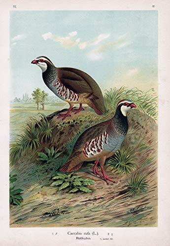 Rothuhn red-legged partridge Huhn chicken Vogel Vögel bird birds
