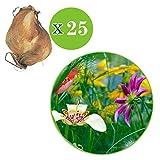 Zoom IMG-1 25x tigridia pavonia fiore di