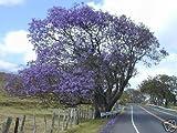 5 Semillas de Jacaranda Mimosifolia Árbol hermoso