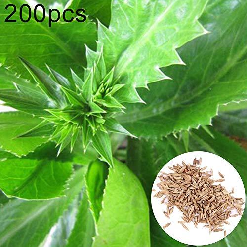 SunYueY Semillas, 200 Unids Eryngium Foetidum Semillas Jardín Jardín Bonsai Culantro Plantas Vegetales, Sin OGM 200 Piezas Semillas de Eryngium Foetidum