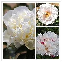 シャクヤク 芍薬 シャクヤク球根 芍薬球根 鉢植え 室内庭園 きれいな植物 バルコニー-5 球根,ホワイト