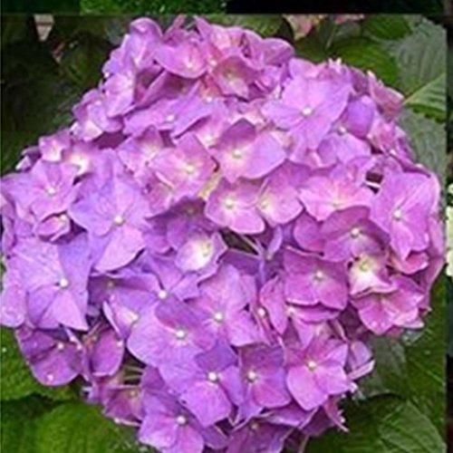 Rosepoem Belles graines d'hortensia La plantation est des fleurs romantiques simples pour la maison et la plantation de jardin Graines de plantes rares 20 pcs