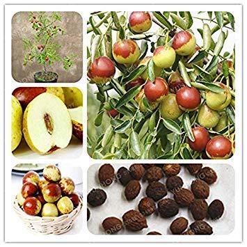Ziziphus Jujube Bonsai sehr süß gesund Bio Rot Jujube Pflanze Bonsai Obst Pflanzen für DIY Hausgarten 10 PC