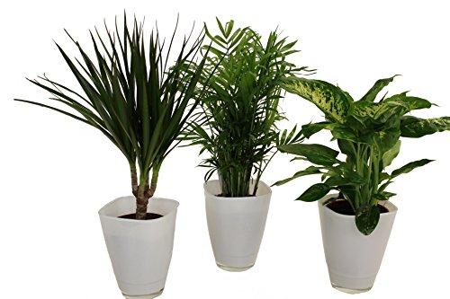 Dominik Blumen und Pflanzen, Fresh-Air-Trio, Dracena Marginata, Zimmerpalme mit Dieffenbachia und Dekotopf, weiß