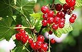 Pianta di Ribes Rosso - Ribes Rubrum