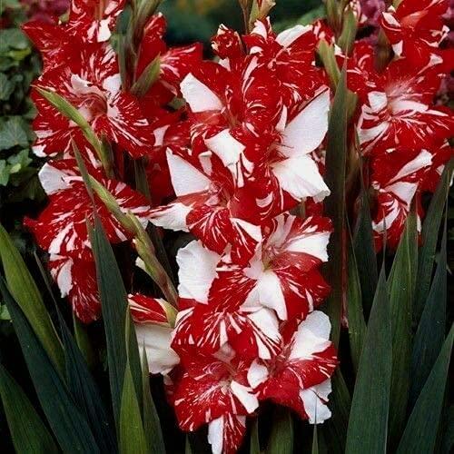 CHTING 12 bombillas de gladiolo, color distintivo, costura, olor, fragancia fresca, encantadora, exterior único, deslumbrante, brillante, atractivo