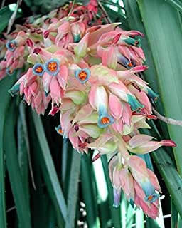 Puya Dyckioides * Gorgeous Pink Pastel Colors * Bromeliad * Very RARE * 5 Seeds