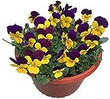 200 Stück Stiefmütterchen Samen Bunte Und Süße Blumen Stauden Erbstück Samen Von Dekorativen Blumenpflanzen Im Garten Balkon Zaun Hof Effizientes Pflanzen Im Freien