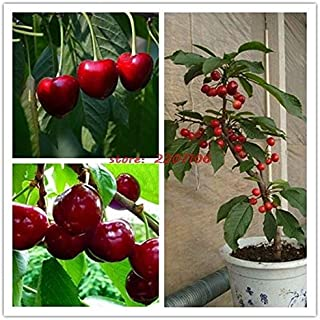ScoutSeed 20 semillas de cerezo dulce British Columbia Lapin Sweet Cherry para huerta