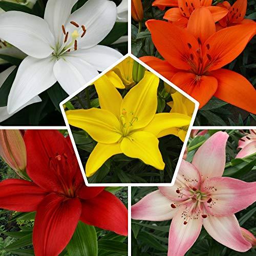 15 Asiatische Lilien Kollektion, Mix aus 5 Sorten, 3 von jeder Farbe, Lilien Zwiebeln aus Holland (kein Samen), Mischung aus weiß, gelb, orange, rot