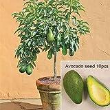Ncient 10 Semi Sementi di Avocado Persea Americana Alberi di Frutta Semi Frutti Rari Profumati per Orto Giardino Balcone Interni ed Esterni