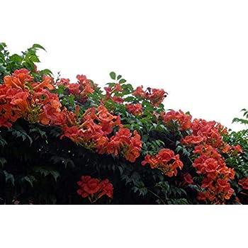 QHYDZ Garden-20pcs Semillas enredadera de Jade Raras Verde Parra ...
