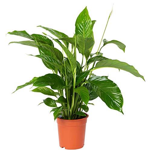 Pflanzen Kölle Einblatt, Spathiphyllum Lynise 'Bingo', Gesamthöhe ca. 90 cm
