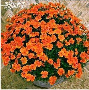 30seeds de couleurs mélangées / sac Hanging plantes fleurs en pot fleurs bleues graines de lin très belles